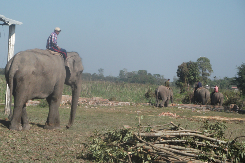 Mahouts take their elephants to a nearby forest for grazing in the Koshi Tappu Wildlife Reserve, in Sunsari district, on Friday, January 6, 2017. Photo: RSS