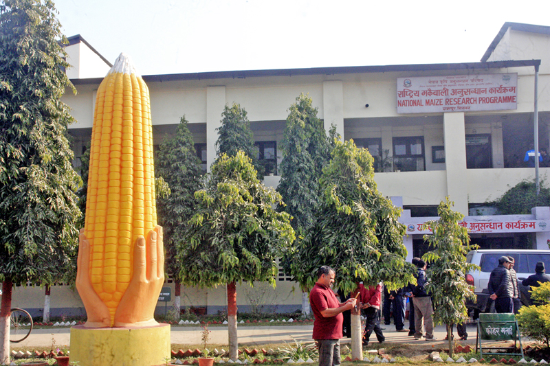 A replica of a maize cob is seen on the premises of National Maize Research Programme in Rampur of Chitwan district, on Thursday, January 5, 2016. Photo: RSS
