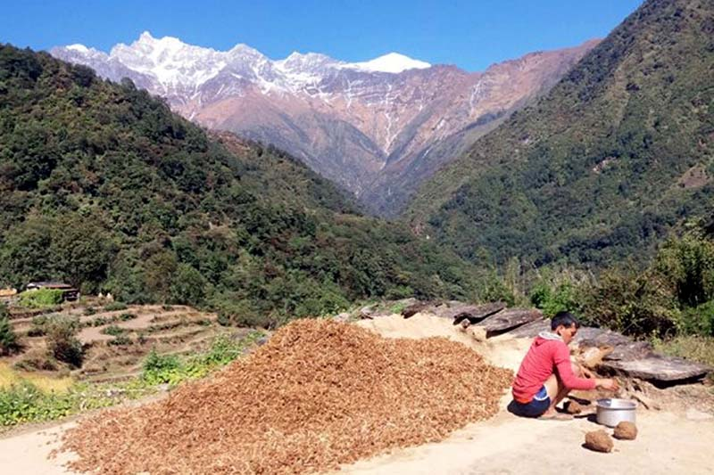 A farmer is seen drying a heap of millet at Kuine Mangale of Myagdi, on Sunday, January 8, 2017. Photo: RSS