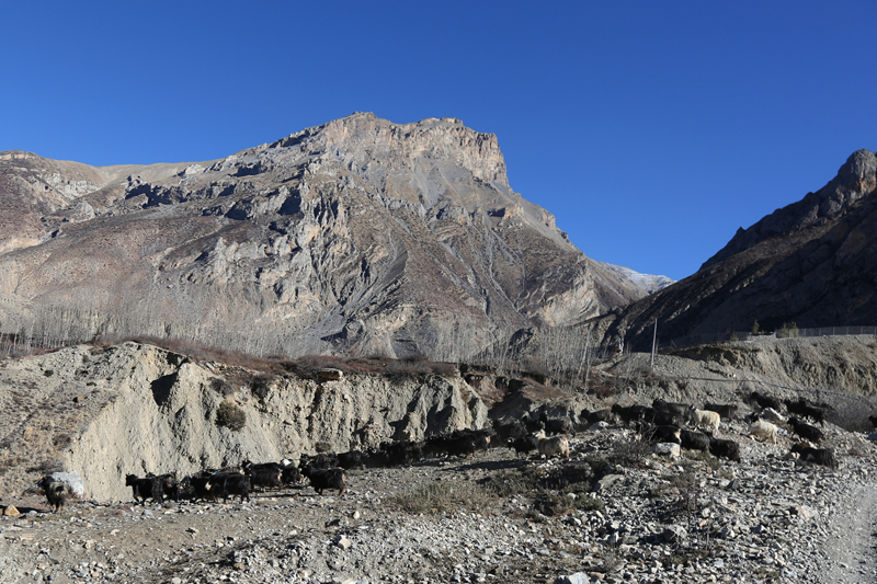 A herd of mountain goats graze near the Muktinath Temple of Mustang district, on Saturday, January 14, 2017. Photo: RSS