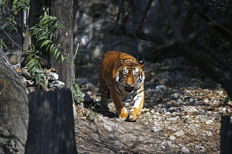 A royal Bengal tiger roams near its den at the Central Zoo in Lalitpur, on Saturday, January 07, 2017. The Bengal tiger is found primarily in India with smaller populations in Bangladesh, Nepal, Bhutan, China and Myanmar. Photo: Skanda Gautam/THT