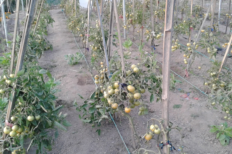 Tomatoes being cultivated in Tallo Swarad of Baitadi district, on Friday, January 13, 2017. Photo: RSS