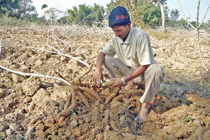A local digs out yams for the upcoming Maghe Sankranti festival at his farm in Sanischare of Morang district, on Thursday, January 12, 2017. Nepalis are celebrating the festival this Saturday. Photo: RSS