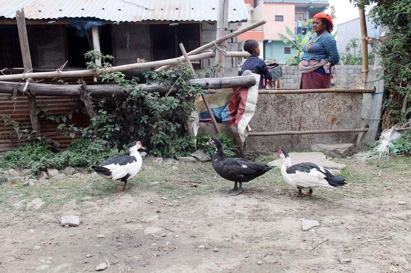 Ducks are seen at a farm belonging to local Mina Pariyar in Khalte, Pokhara-17 of Kaski district on Saturday, February 25, 2017. Photo: Bharat Koirala