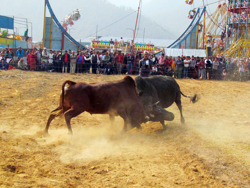 Visitors observe bull fight during the 4th Nuwakot festival in Battar, district headquarters of Nuwakot, on Thursday, February 2, 2017. Photo: RSS