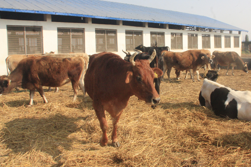 Cows kept at Rampur-based Cow Research Centre in Chitwan district, on Tuesday, February 7, 2017. Photo: RSS