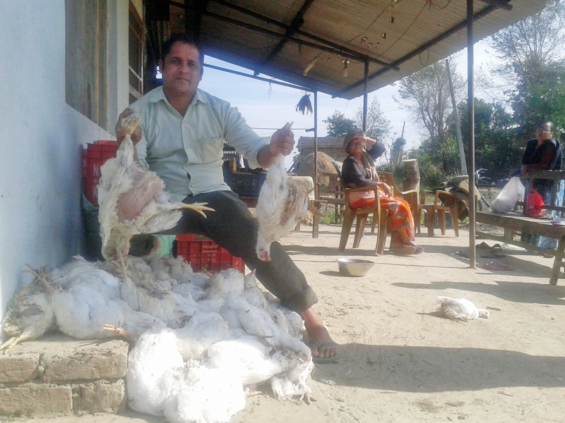 A farmer shows chicken which died of an unidentified disease, in Kanchanpur district, on Tuesday, February 7, 2017. Photo: RSS