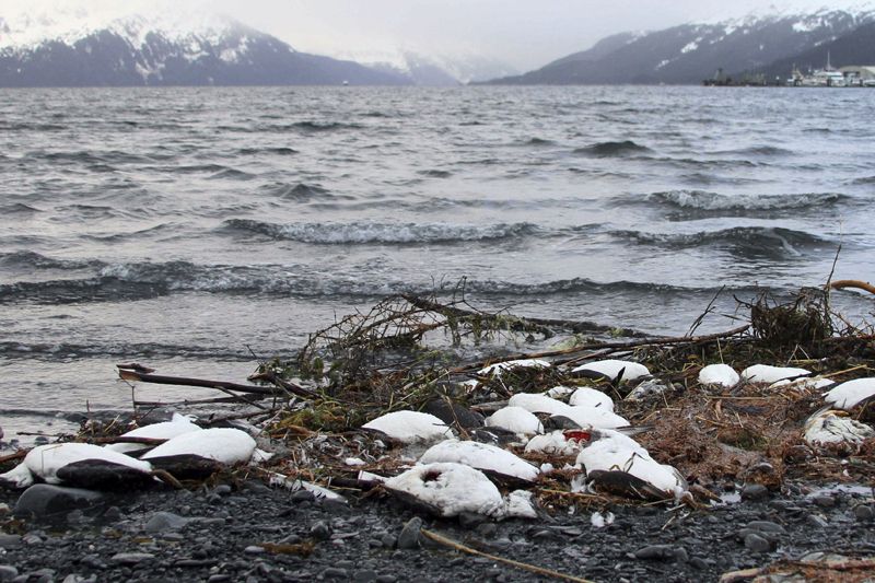 FILE - In this Jan. 7, 2016 file photo, dead common murres lie washed up on a rocky beach in Whittier, Alaska. Photo: AP