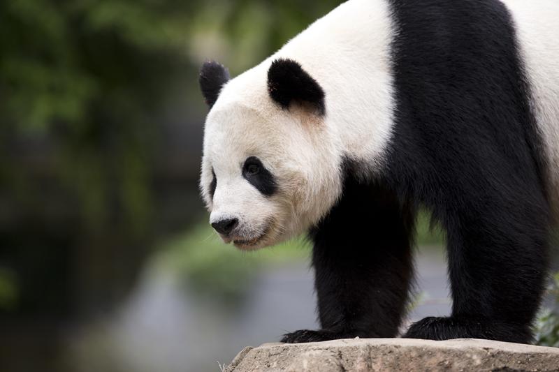 FILE - In this Sept. 25, 2015, file photo, panda cub Bao Bao, roams in an enclosure at the Smithsonian's National Zoo in Washington. Photo: AP
