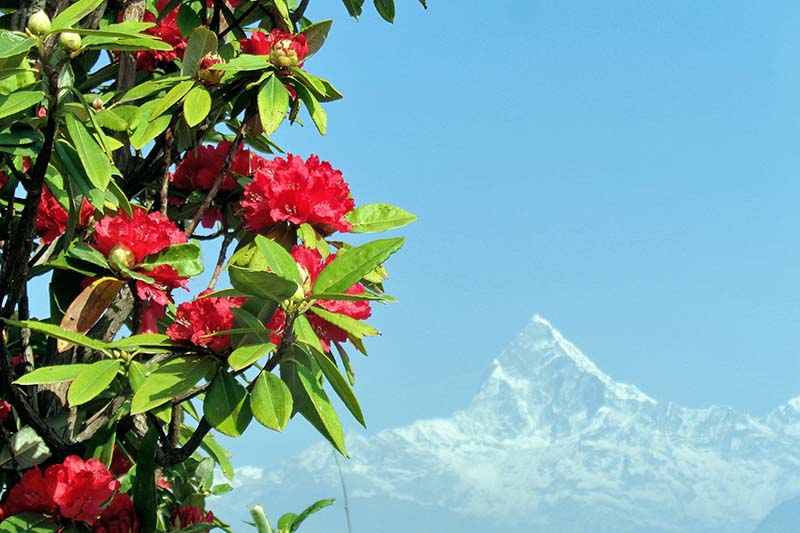 Rhododendron flowers are seen in full bloom on the backdrop of majestic view of mountains from Kahunkot of Pokhara in Kaski district, on Sunday, February 26, 2017. Photo: RSS