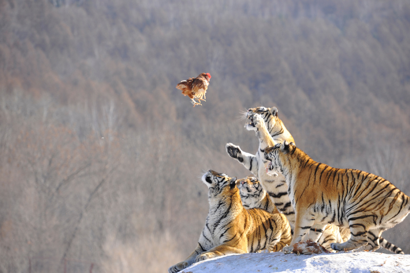 Siberian tigers act to catch prey at a Siberian tigers breeding base in Mudanjiang, Heilongjiang province, China, February 10, 2017. Photo: Reuters