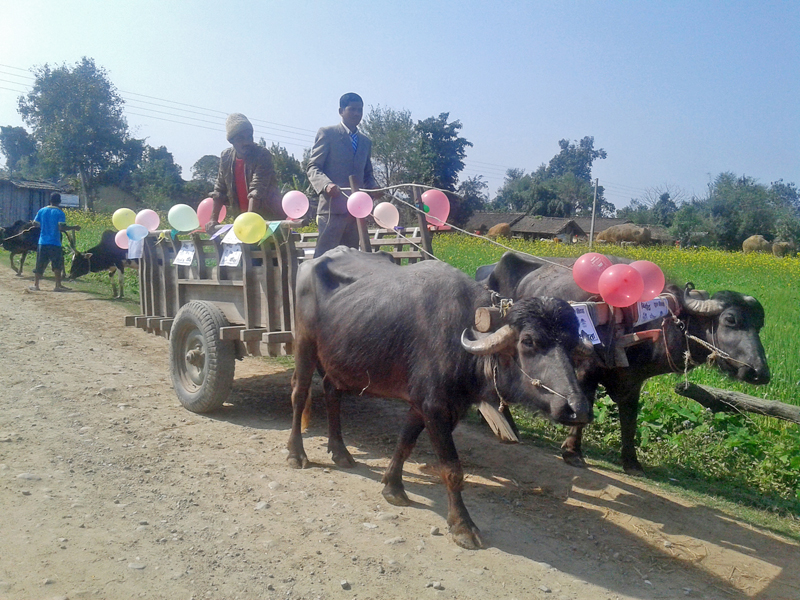 A buffalo cart being decorated to be used for a marriage ceremony in a Tharu community in Kanchanpur district, on Monday, February 6, 2017. Photo: RSS