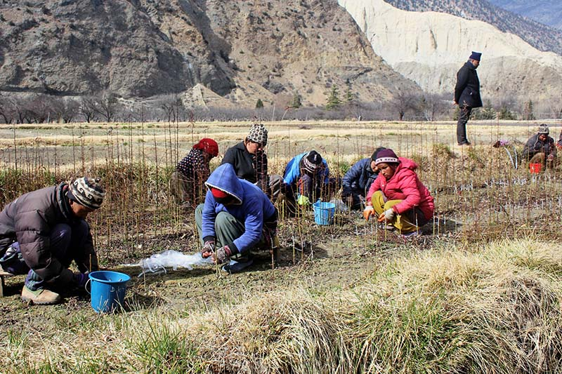Workers pluck out apple saplings at a nursery of Horticulture Development Centre in Marpha of Mustang district on Monday, February 6, 2017. Photo: RSS
