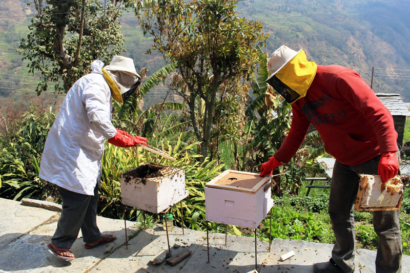 Farmers take out honey from a beehive in Kuhun of Myagdi district on Saturday, March 11, 2017. Photo: RSS