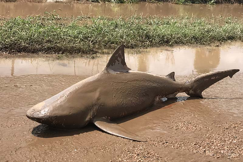 A shark is seen stranded in floodwaters in Ayr, northeastern Australia, on March 30, 2017. Photo: Lisa Smith via AP