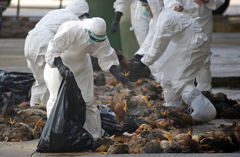 FILE - In this Wednesday, Dec. 31, 2014 file photo, health workers in full protective gear collect dead chickens killed by using carbon dioxide,  after bird flu was found in some birds at a wholesale poultry market in Hong Kong. Photo: AP