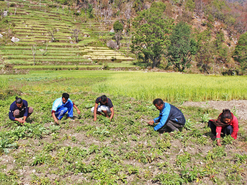 Youths are seen working at their commercial vegetable farm in Beni Municipality of Myagdi district, on Wednesday, March 15, 2017. Photo: RSS