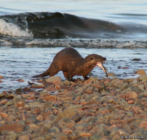 Eurasian otter. File Photo via IUCN