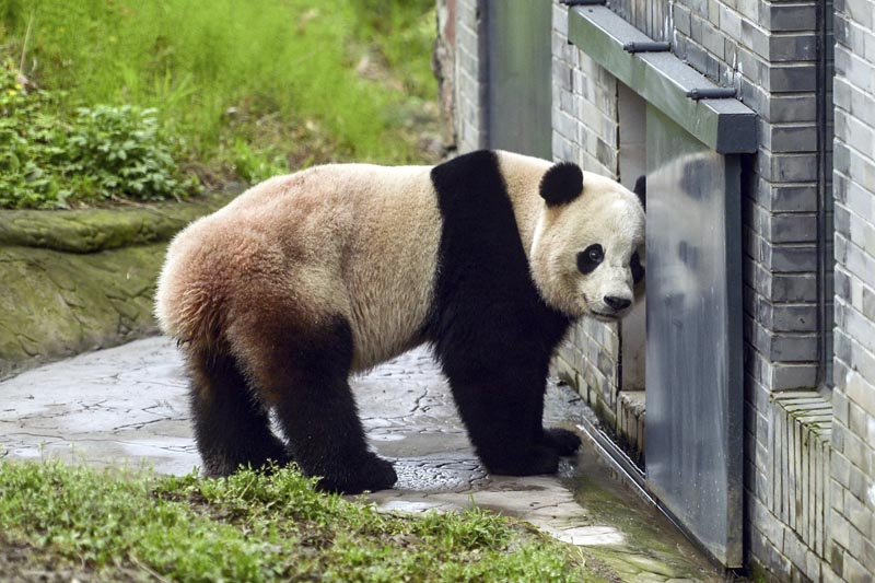 The giant panda Bao Bao stands in an enclosure at its new home at the panda research base in Dujiangyan in southwest China's Sichuan province Friday, March 24, 2017. Photo: AP