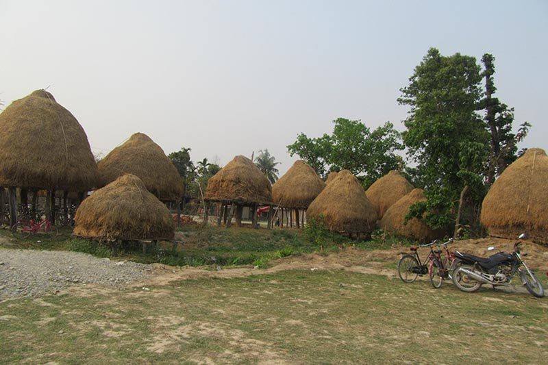 Bales of hay cut, dried and stored for use as cattle fodder, in Rahipur of Itahari in Sunsari district, on Saturday, March 25, 2017. Photo: RSS