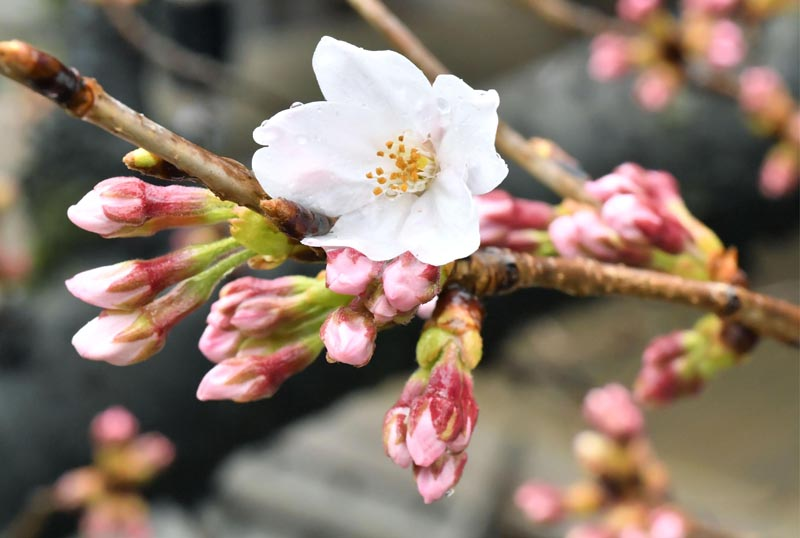 A cherry flower blooms on a monitoring tree at Yasukuni Shrine in Tokyo Tuesday, March 21, 2017. Photo: AP