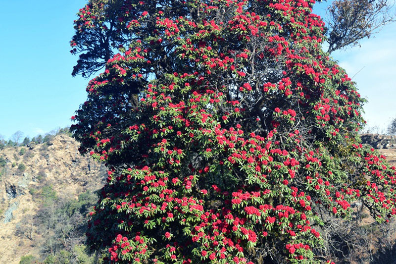 National flower rhododendrons are seen blooming in Ruise-Bhediodhar area located along the Dhawalagiri mountain trail of Myagdi district on Thursday, March 9, 2017. Photo: RSS