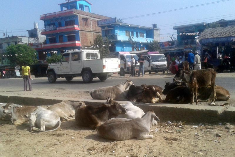 Stray domestic animals sit on the road in Jhalari Bazaar in Kanchanpur district, on Friday, March 31, 2017. Photo: RSS
