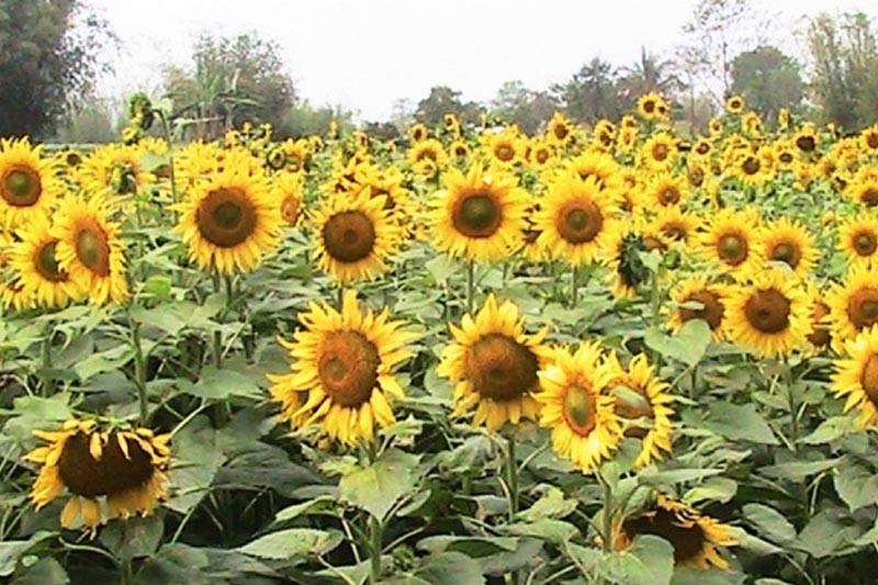 Sunflowers seen at a field in Kushawaha of Sunsari district, on Friday, March 31, 2017. Photo: RSS