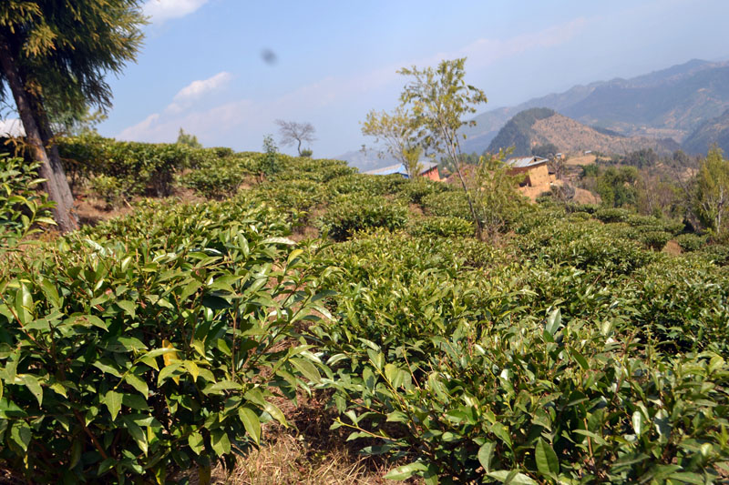 A tea garden located in Kamidanda of Kavre district seen on the picture taken on March 4, 2017. Locals of the place have recently begun commercial tea farming. Photo: RSS