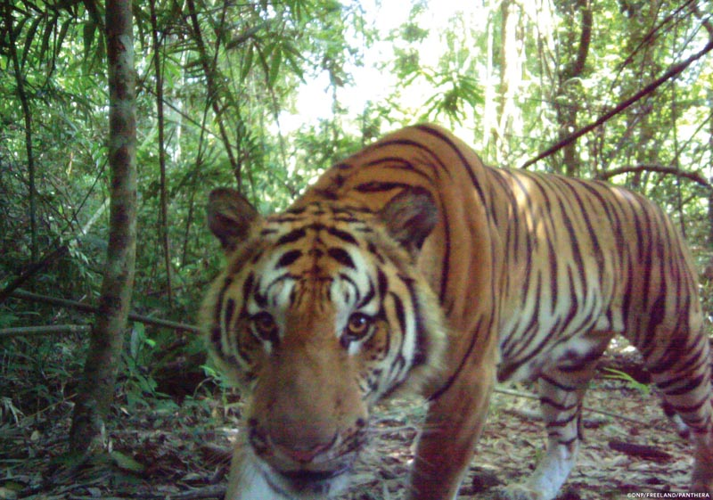 In this 2016 photo released by Thailand's Department of National Parks, Wildlife and Plant Conservation/Freeland, a curious male tiger walks in the jungle in eastern Thailand. Thailand's Department of National Parks, Wildlife and Plant Conservation, Freeland, an organization fighting human and animal trafficking, and Panthera, a wild cat conservation organization, announced Tuesday, March 28, 2017 that their investigations had photographic evidence of new tiger cubs in eastern Thailand's jungle, signaling the existence of the world's second breeding population of endangered Indochinese tigers. Photo: AP