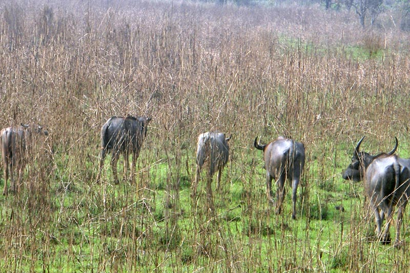 Wild buffaloes foraging in Chitwan National Park on Sunday, March 26, 2017. Photo RSS