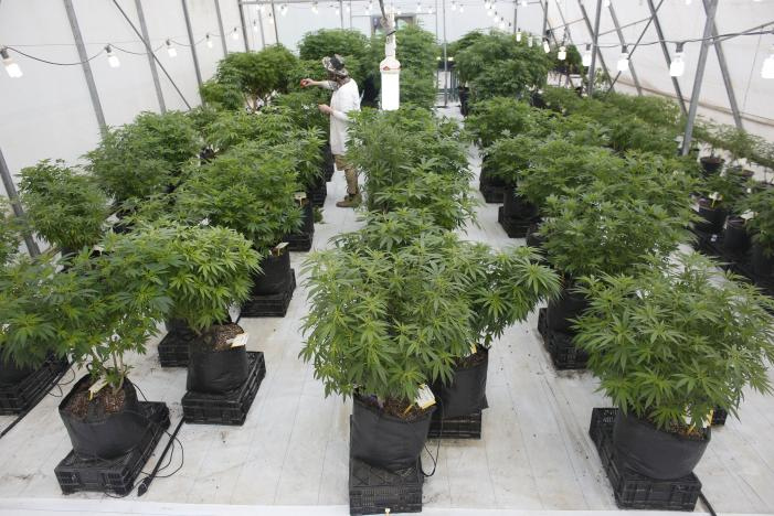 An employee works next to cannabis plants at a medical marijuana plantation in northern Israel March 21, 2017. Picture taken on  March 21, 2017. Photo: Reuters