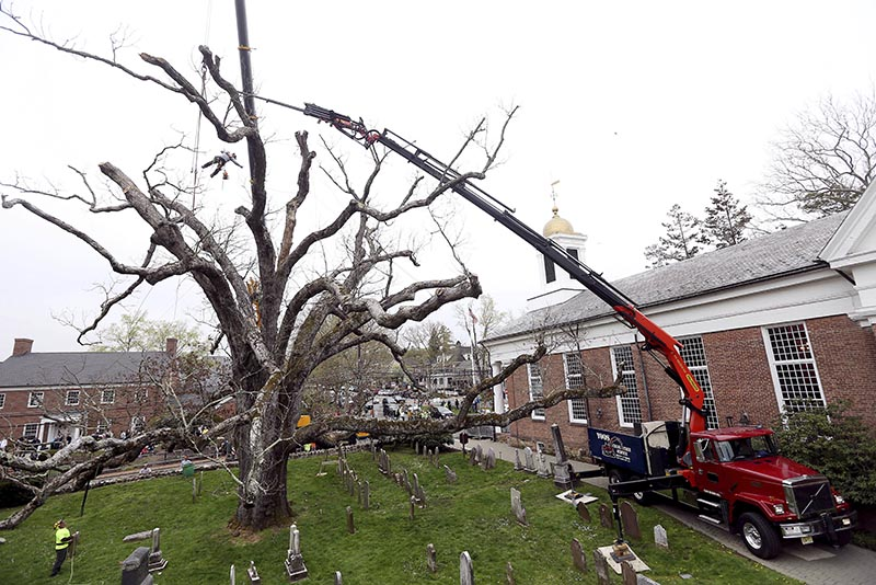 A contractor from Yoos Crane and Tree Service dangles above the ground using a chainsaw to cut limbs from a historic oak tree in Basking Ridge, New Jersey, on Monday, April 24, 2017. Photo: Bob Karp /The Daily Record via AP