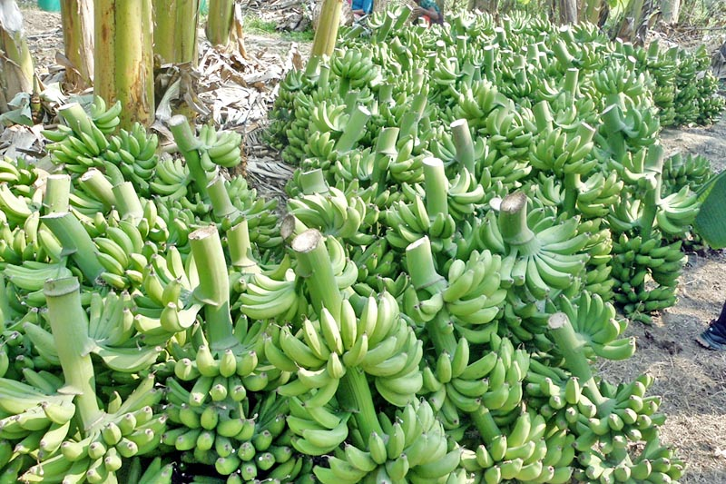 FILE - Bananas kept for sale at a local banana orchard in Chitwan, on Thursday, April 6, 2017. Photo: RSS