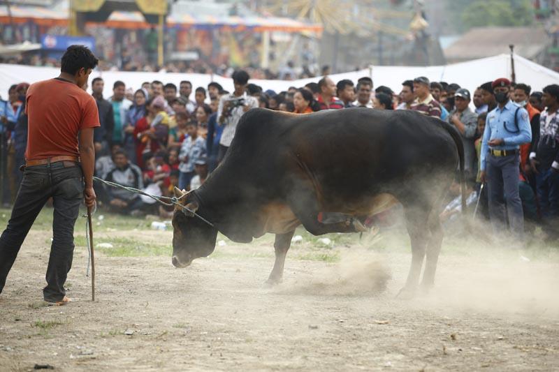 A bull being brought to the ground for a bullfight at the Chandragiri Festival in Balambu. Photo: Skanda Gautam