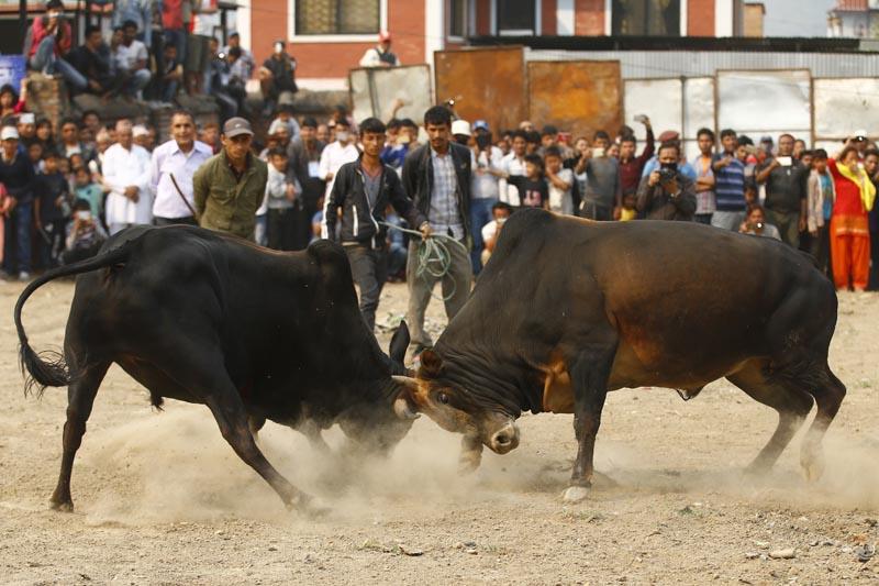 Bulls fight at the Chandragiri Festival in Balambu. Photo: Skanda Gautam
