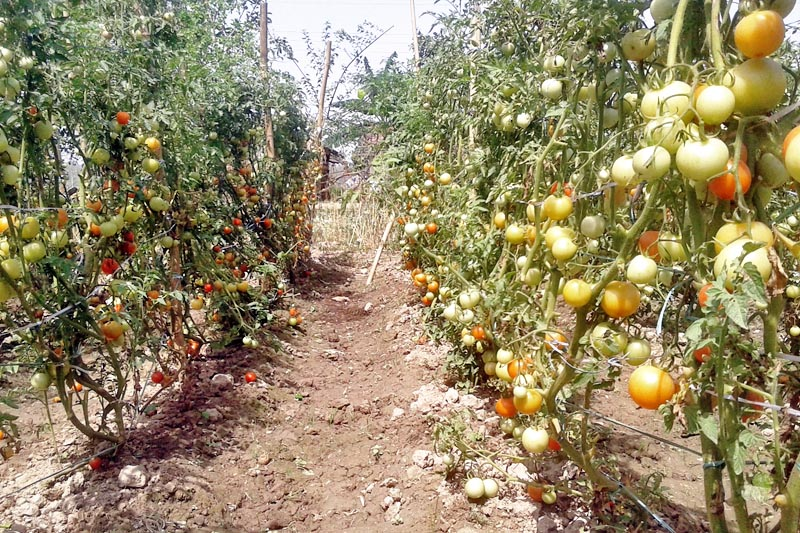 A commercial tomato farm in Suklaphanta-3 in Kanchanpur district, on Sunday, April 9, 2017. Photo: RSS