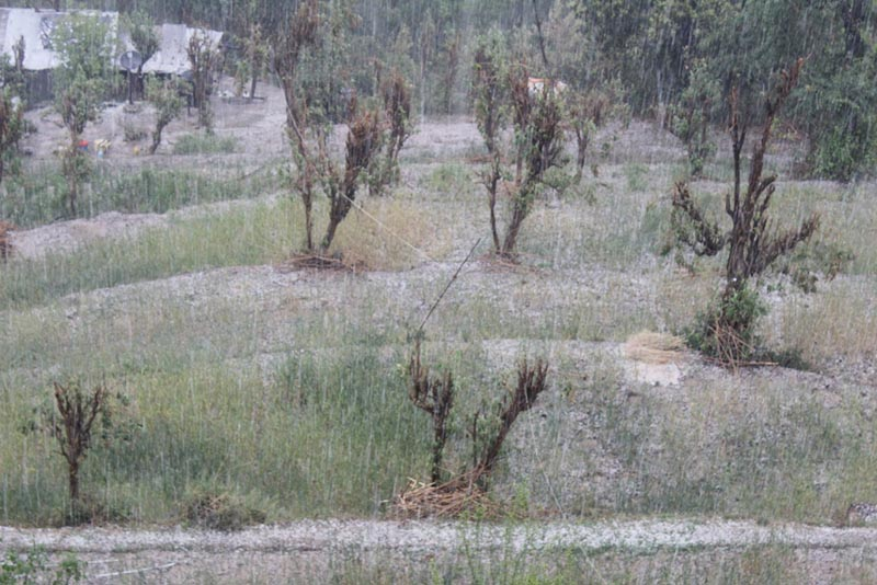 A rain with hailstones pour down the wheat fields with crops during the harvest time in Baghkhor, the headquarters of Dadeldhura district, on Friday, April 7, 2017. Photo: Baburam Shrestha