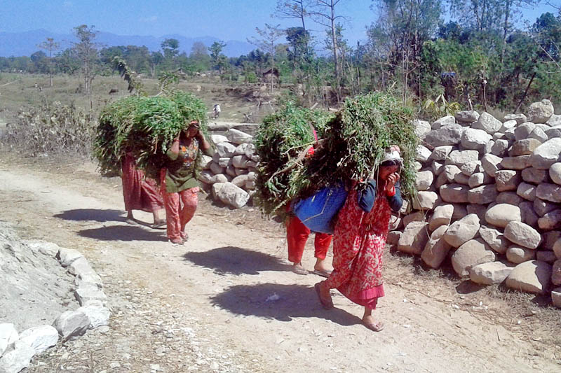 Women are seen carrying fodder on their back from a nearby forest, in Kanchanpur district, on Friday, April 28, 2017. Photo: RSS