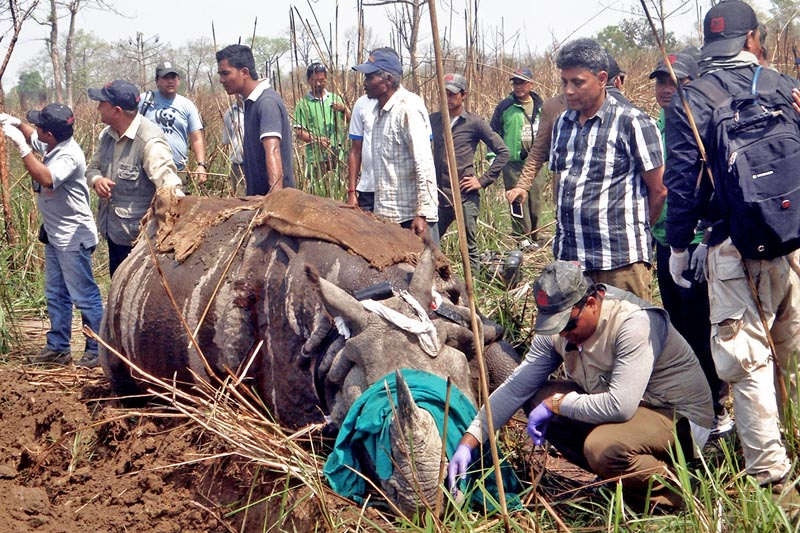 Staff at the Chitwan National Park take a one-horned rhino under their control to relocate to Shukalaphanta National Park, on Monday, April 3, 2017. Photo: RSS