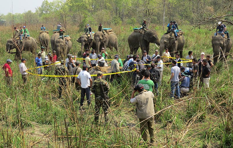 Chitwan National Park staff dealing with a one-horned rhino that was rendered unconscious before being kept in a truck and transferred to Shuklaphanta National Park, on Monday, April 3, 2017. Photo: THT