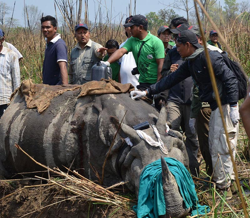 Staffers at Chitwan National Park preparing to shift a one-horned rhinoceros to Shuklaphanta National Park on Monday, April 3, 2017. Photo: THT