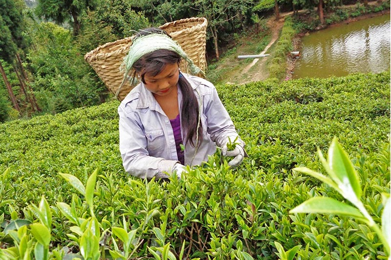 A woman is seen picking tea leaves at a tea garden in Ilam district, on Thursday, April 27, 2017. Photo: RSS