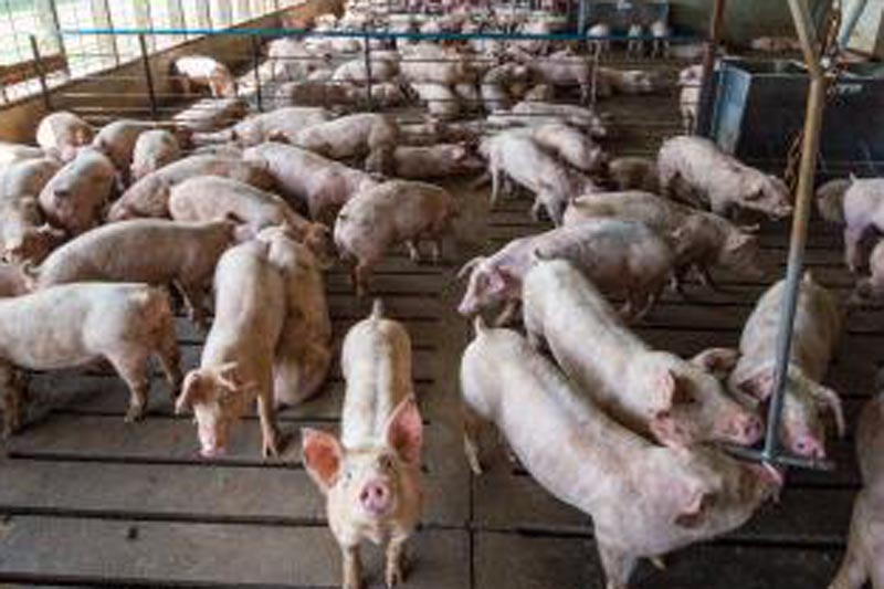 Pigs are seen at a Smithfield Foods, the world's largest pork producer farm in the United States in this image released on April 11, 2017. Photo: Reuters