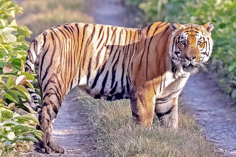 A Royal Bengal Tiger is spotted at the Chitwan National Park in Chitwan District, on Tuesday, April 4, 2017. Photo: RSS