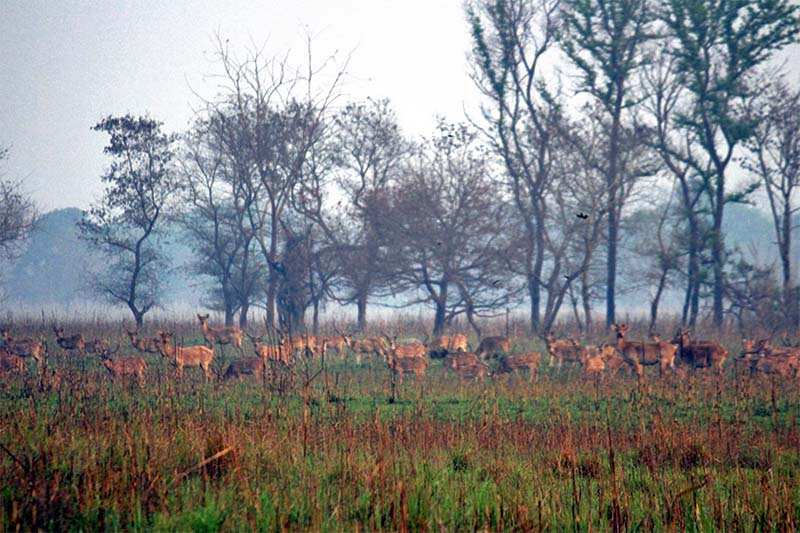 A herd of swamp deer foraging in the Shuklaphanta National Park in Kanchanpur district on Saturday, April 1, 2017. Photo: RSS