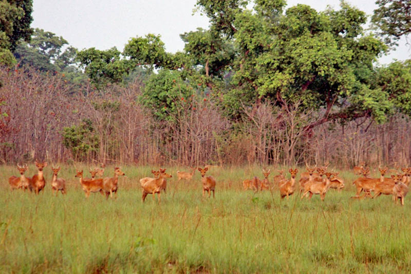 A herd of Swamp deer foraging in the Shuklaphanta National Park in Kanchanpur district, on Wednesday, April 26, 2017. Photo: RSS