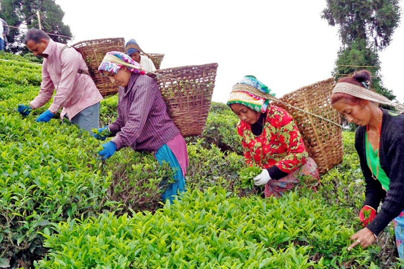 Workers are seen plucking tea leaves at a tea garden in Ilam district, on Monday, April 24, 2017. Photo: RSS