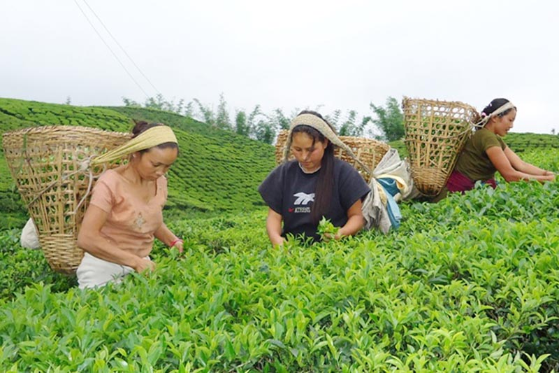 Women are seen plucking tea leaves at a tea garden in Puwamajuwa in Ilam district, on Thursday, April 13, 2017. Photo: RSS