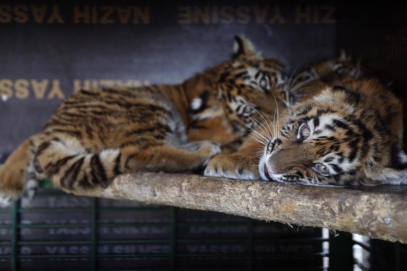 In this Wednesday March 29, 2017 photo, Siberian tigers destined for a zoo in war-torn Syria, and rescued by Animals Lebanon, an animal rights group, lie inside a cage, in Aley, east of Beirut, Lebanon. Photo: AP
